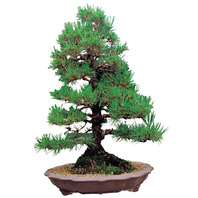해송(소나무)