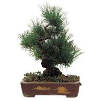흑송(소나무)
